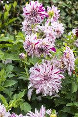 Dahlia 'Bristol stripe' in bloom  summer  Pas de Calais  France