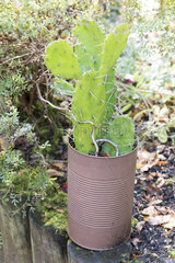 Opuntia cactus in a tin can painted  autumn  Somme  France