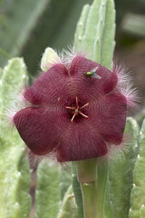 Carrion flower (Stapelia asterias) with a fly
