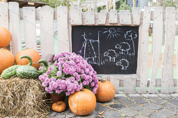 Chrysanthemum  two-tone pear squash and pumpkins set in front of a picket fence  in a garden  autumn  Germany