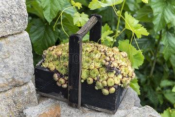Houseleek in a wooden basket on a garden terrace  summer  Ardèche  France