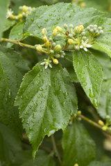 Grewia (Grewia biloba var. parviflora)
