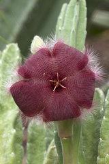 Carrion flower (Stapelia asterias)