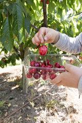 Cherry picking bigarreau 'Burlat'  spring  Pas de Calais  France