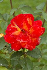 'Super Trouper' rose