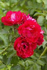'Prodige Ecarlate' rose