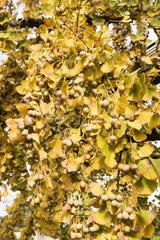 Ginkgo biloba in fruit in a garden  autumn  France