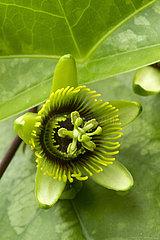 Bat leaved passion flower (Passiflora coriacea)