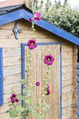 Hollyhock in front of a garden shed  summer  Pas de Calais  France