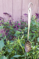 Hybrid sage 'Wendy's wish in a garden  summer  Moselle  France