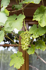 Vine in front of the window of a house  summer  Alsace  France