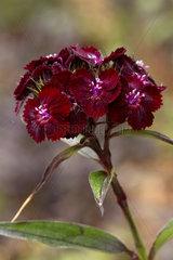 Sweet William (Dianthus barbatus) ?Sooty?