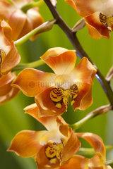 Neomoorea (Neomoorea irrorata)