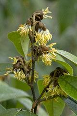 Chinese fighazel (Sycopsis sinensis)