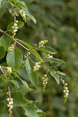 Sageretia (Sageretia pycnophylla)