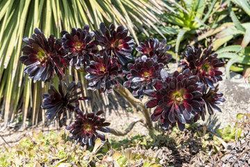 Aeonium arboreum atropurpureum 'Schwarzkopf' in a garden  spring  Cotentin  France