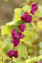 Coralberry (Symphoricarpos orbiculatus)