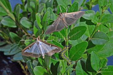 Box Tree Moth (Cydalima perspectalis)  moth and caterpillar on common boxwood (Buxus sempervirens). Light and dark form. Invasive species from Asia. Sept 2018. Garden at the edge of the Orb. Herault  France