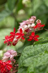 Red bleeding heart vine (Clerodendrum x speciosum)