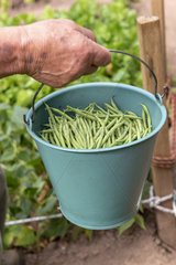 Picking beans net dwarf mangetout 'Sans Fil'  summer  Moselle  France