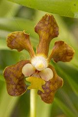 Light Brown Vanda (Vanda brunnea)