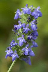 Chia (Salvia hispanica)
