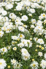 Anthemis 'Dana' white in a garden  spring  Pas de Calais  France