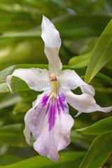 Outstanding miltonia (Miltonia spectabilis)