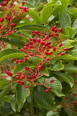 Siebold's viburnum (Viburnum sieboldii)