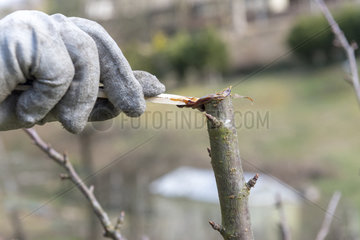 Healing a wound after the size of a cherry tree  winter  Moselle  France