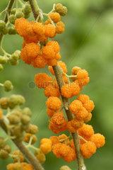 Orange Wild Rhea (Debregeasia longifolia)