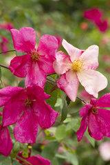 China rose (Rosa chinensis) 'Mutabilis'
