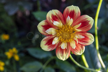 Dwarf Dahlia Flower 'Cute Pooh'  Summer  Moselle  France