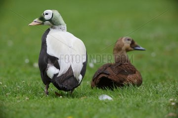 Spectacled eiders couple on grass