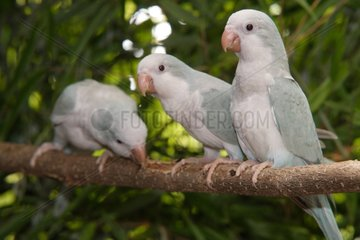 Monk parakeets 'Cinamon Blue' on a branch