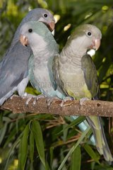 Monk parakeets 'Green' 'Blue' and 'Cobalt Blue' on a branch