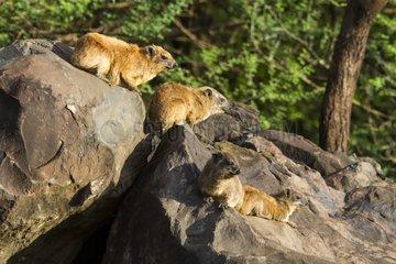 Rock Hyraxes on kopje - Lake Bogoria Kenya