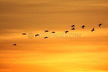 Common Shelducks in flight at dawn - Giens France