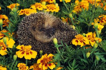 European hedgehog (Erinaceus europaeus) in a ball in the flowers