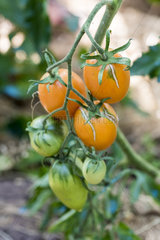Star gold F1 tomatoes in a kitchen garden  summer  Moselle  France