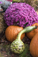 Chrysanthemum  Two-tone pear squash and pumpkins  in a garden  autumn  Germany