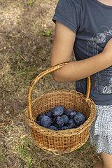 Girl picking 'Stanley' plums  summer  Alsace  France