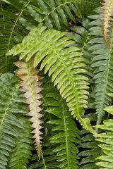 Blechnum fern (Blechnum appendiculatum) Syn.: (Blechnum occidentale)