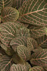 Mosaic plant (Fittonia albivenis). Syn.: Fittonia verschaffeltii