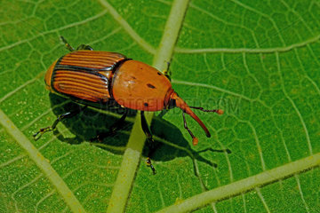 Red palm Weevil (Rhynchophorus ferrugineus) with parasitic mite on the thorax. Fig leaf in Spain. Length 27 mm. Parasitic larva of Date Palm (Phoenix canariensis) and (Phoenix dactylifera) causing Palm death. Origin Asia via Egypt.
