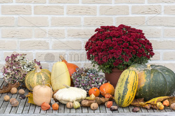 Harvest of various squash in an organic kitchen garden and chrysanthemum  autumn  Pas de Calais  France