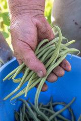 Picking 'vesperal' rag beans in a kitchen garden  summer  Moselle  France