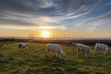Charolais oxen in a meadow facing Goury lighthouse  Auderville  Manche  Normandy  France