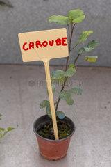 Carob's foot in a greenhouse  spring  Pas de Calais  France