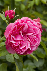 Rosa 'Leonard de Vinci'